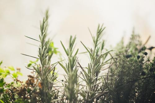 Rosmarin auf dem Fensterbrett zuhause im Kräuterbeet Gesundheit grün Nahaufnahme Ernährung Farbfoto Kräuter & Gewürze Pflanze Blatt Nutzpflanze frisch lecker