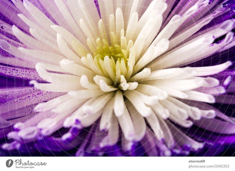 violetter und weißer Blumenhintergrund arome Hintergrund neutral schön Chrysantheme Farbe mehrfarbig Textfreiraum Gänseblümchen Tag Dekoration & Verzierung