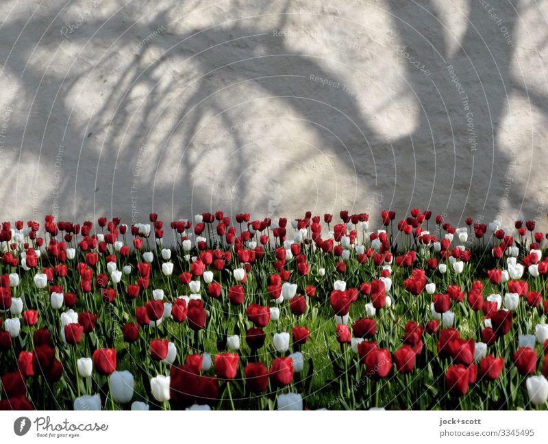 Klostergarten mit 2000 Tulpen Glück Ausflug Frühling Schönes Wetter Baum Tulpenfeld Offenbach Mauer Wand Blühend außergewöhnlich Fröhlichkeit Unendlichkeit
