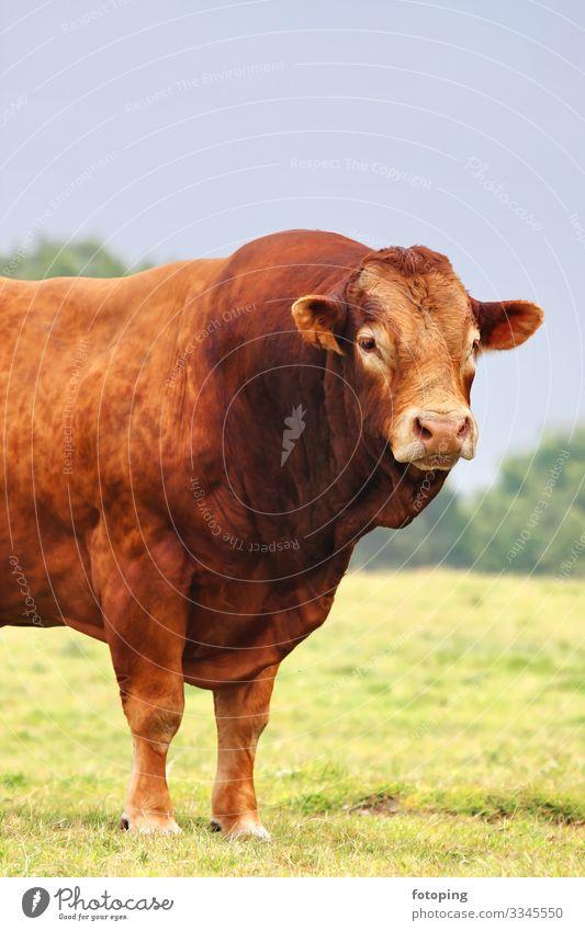 Ochse Landwirtschaft Forstwirtschaft Natur Tier stark braun BIO Bulle Étretat Fleischproduktion Frankreich Normandy Rind Viehzucht Weide bullig fotoping gesund