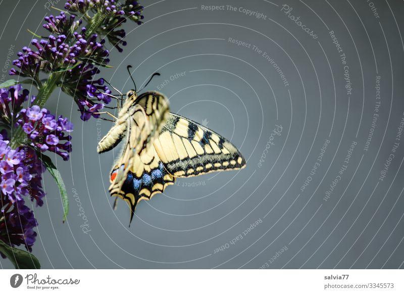 Schwalbenschwanz auf Sommerfliederblüte vor grauem Hintergrund Natur Blume violett Nahaufnahme Pflanze Blüte Menschenleer Außenaufnahme Duft Tag Farbfoto