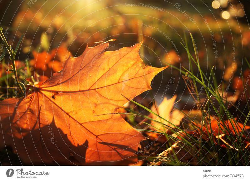 Sonnenbad im Herbst Umwelt Natur Landschaft Pflanze Blatt ästhetisch schön Wärme Gefühle Zeit Herbstlaub herbstlich Jahreszeiten Färbung Oktober November