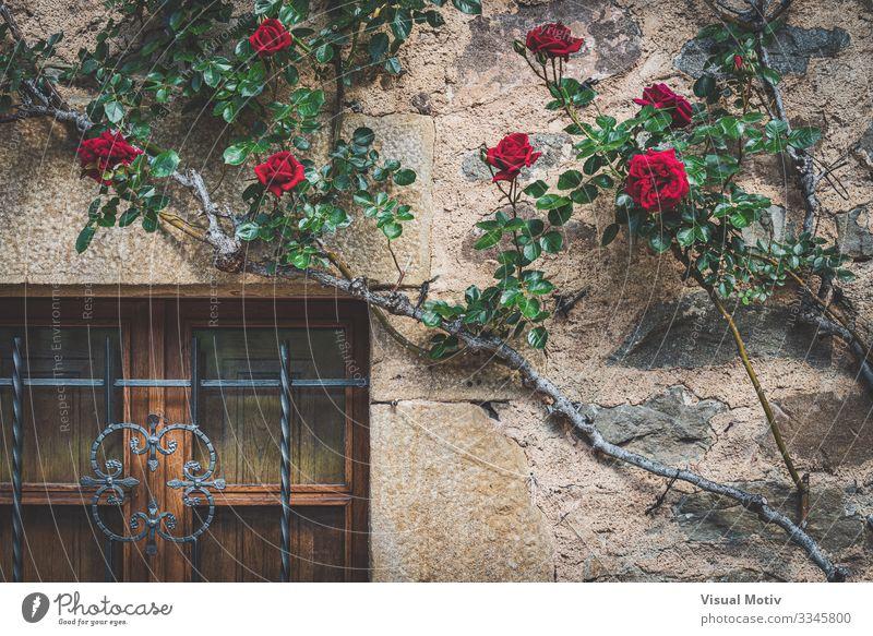 Altes Fenster mit Kletterrosen Haus Natur Pflanze Blume Rose Park Dorf Stadt Architektur Fassade natürlich grün rot architektonisch botanisch Botanik geblümt