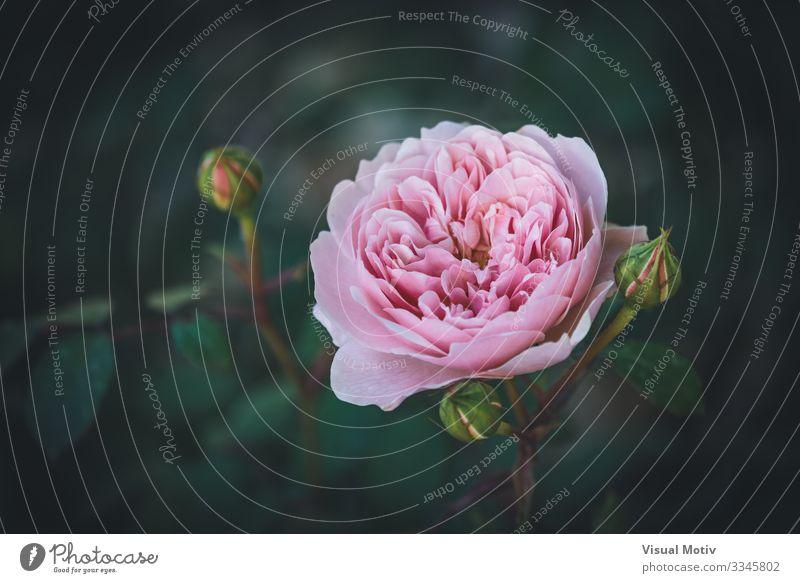 Rosa englische Rose schön Duft Garten Natur Pflanze Blume Blüte Park frisch natürlich grün rosa Farbe Roséwein hellrosa Rosenblätter botanisch Botanik geblümt