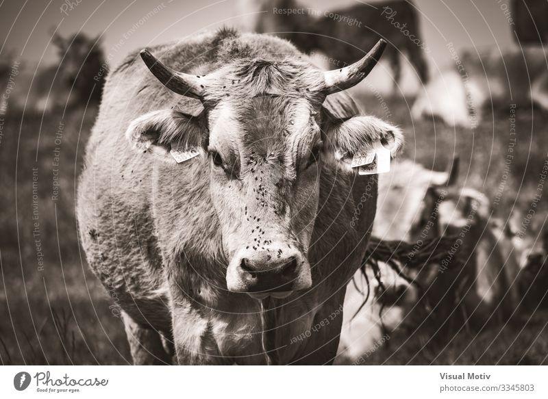 Pyrenäen-Kuh schaut in die Kamera Leben Berge u. Gebirge Menschengruppe Umwelt Natur Landschaft Tier Gras Wiese Herde Fressen natürlich Säugetier ländlich