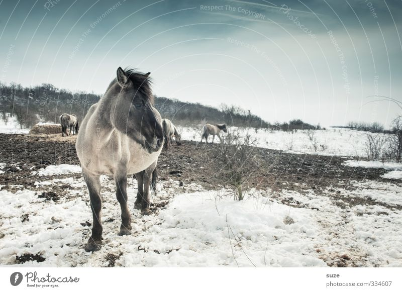 Wo bleibt der nur ... Winter Schnee Umwelt Natur Tier Himmel Horizont Wildtier Pferd Tiergesicht Herde stehen authentisch kalt niedlich wild blau weiß Mähne