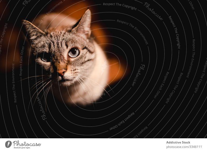 Nachdenkliche graue Katze schaut im Dunkeln in die Kamera Haustier heimwärts Katzenbaby Tier Komfort Backenbart gemütlich neugierig blaue Augen heimisch