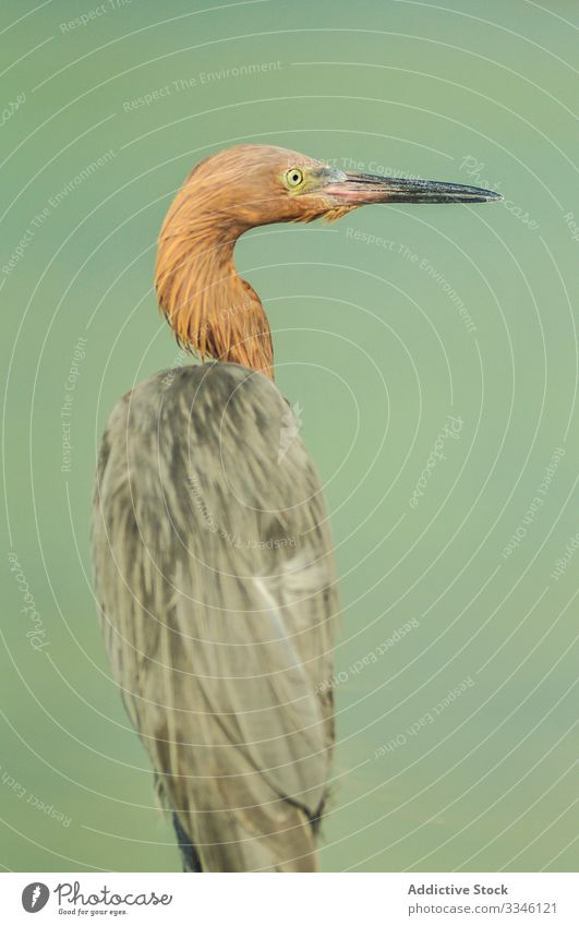 Erstaunlicher starrer Reiher mit schwarzem Schnabel schaut weg Vogel Arten Natur Fauna Feder Gefieder Umwelt natürlich wild Wasser Tier elegant Prima Flügel
