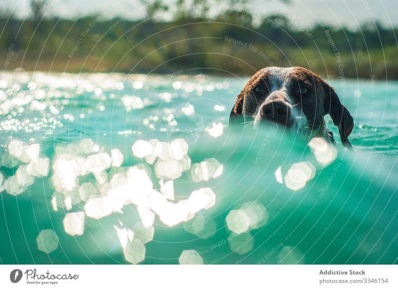 Hund schwimmt in türkisfarbenem Wasser im Sonnenlicht Schwimmsport Meer sonnig niedlich Urlaub platschen Eckzahn Tier Haustier Abenteuer Aktion Freund tropisch