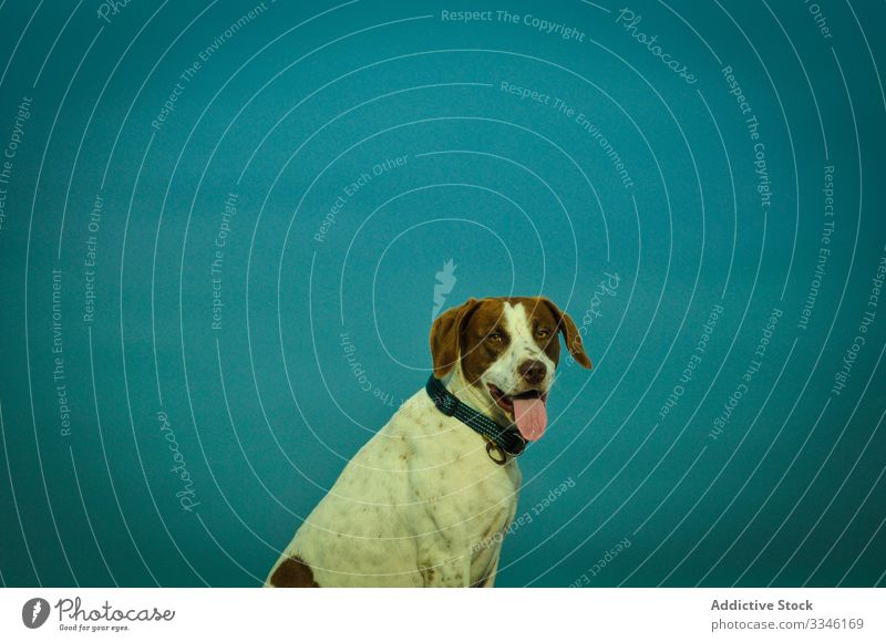Hund sitzt in der Nähe eines blauen Wandhintergrunds in einem Studio Tier Freundschaft heimisch gehorsam Haustier Eckzahn freundlich Welpe bezaubernd hell