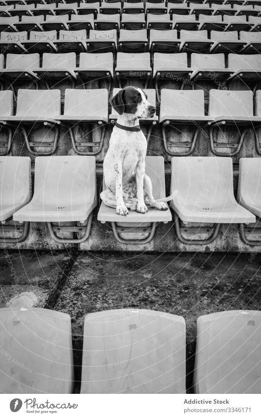 Aufgeregter Hund sitzt auf Stuhl im Stadion traurig verärgert unglücklich Haustier Tier freundlich warten Lifestyle Reinrassig bezaubernd niedlich urban Stadt