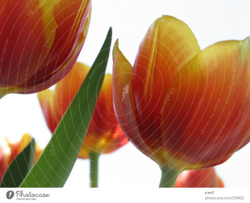 Tulpen frisch Frühling Blume Blüte