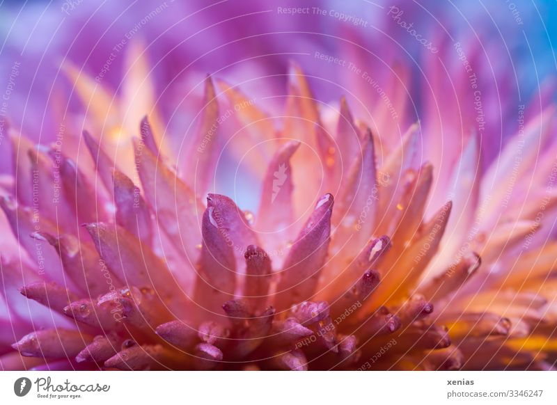 Makroaufnahme einer pinkfarbenen Tausendschön vor blauem Hintergrund Pflanze Frühling Blüte Gänseblümchen Blühend klein nass Spitze rosa Frühlingsgefühle