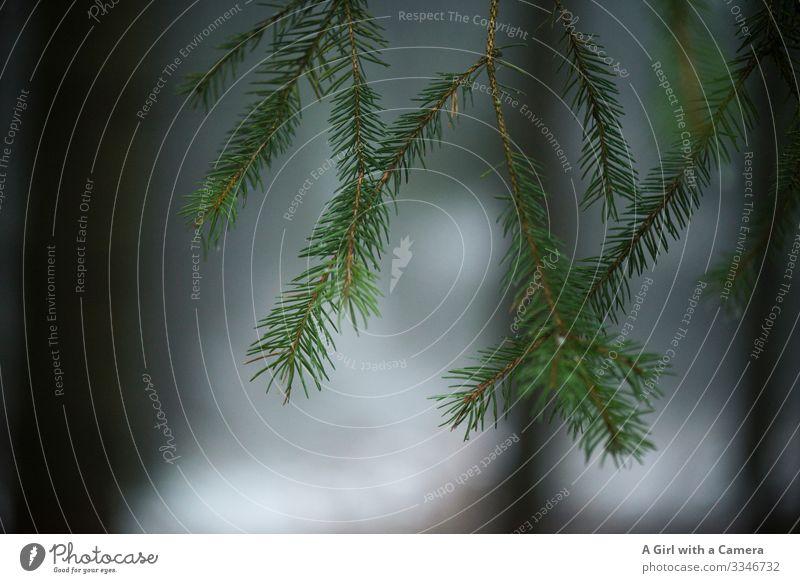 Tanne im Winter mit unscharfem Hintergrund Wintersport Schnee Außenaufnahme Baum kalt weiß Wald Tag Natur Menschenleer Gedeckte Farben Textfreiraum unten