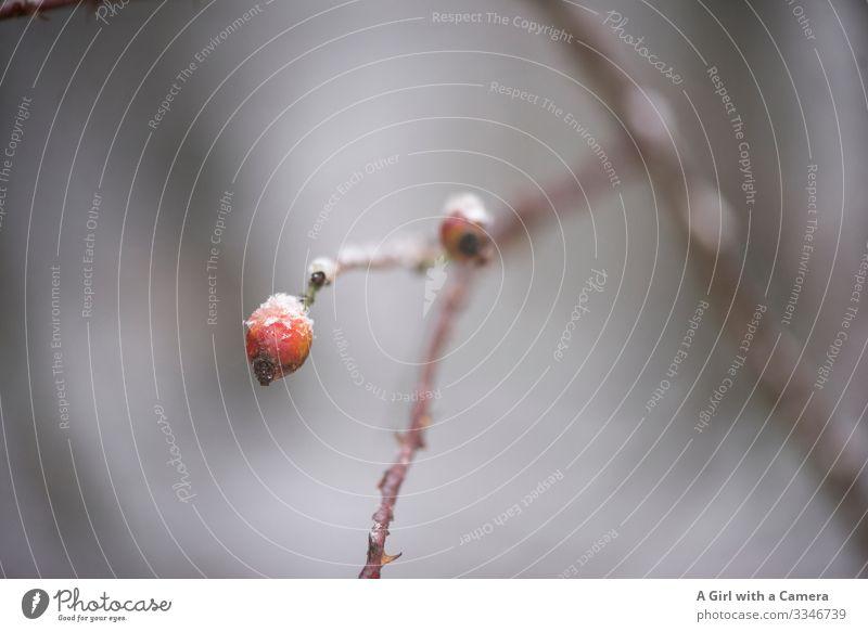 Rote Beere Umwelt Natur Pflanze Winter Eis Frost Baum Zweig Ast Hagebutten Wald natürlich rund rot Gelassenheit ruhig Gedeckte Farben Außenaufnahme Nahaufnahme