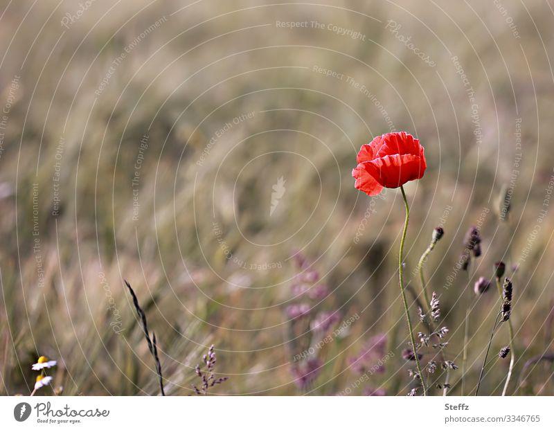 meadow poppy Umwelt Natur Sommer Pflanze Blume Blüte Wildpflanze Mohn Mohnblüte Sommerblumen Wiesenblume Blumenwiese Deutschland Europa Blühend natürlich schön