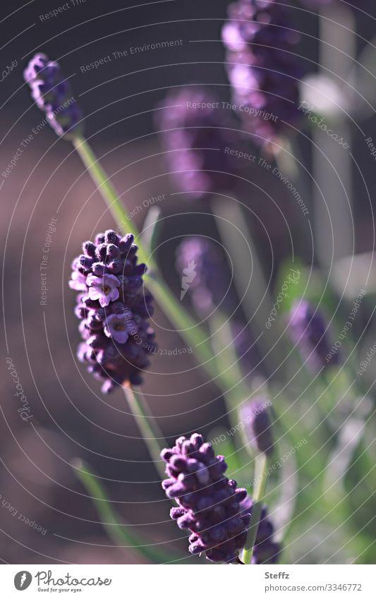 Gartenstimmung Umwelt Natur Sommer Schönes Wetter Pflanze Blume Blüte Nutzpflanze Lavendel Heilpflanzen Sommerblumen Deutschland Blühend Duft nah natürlich