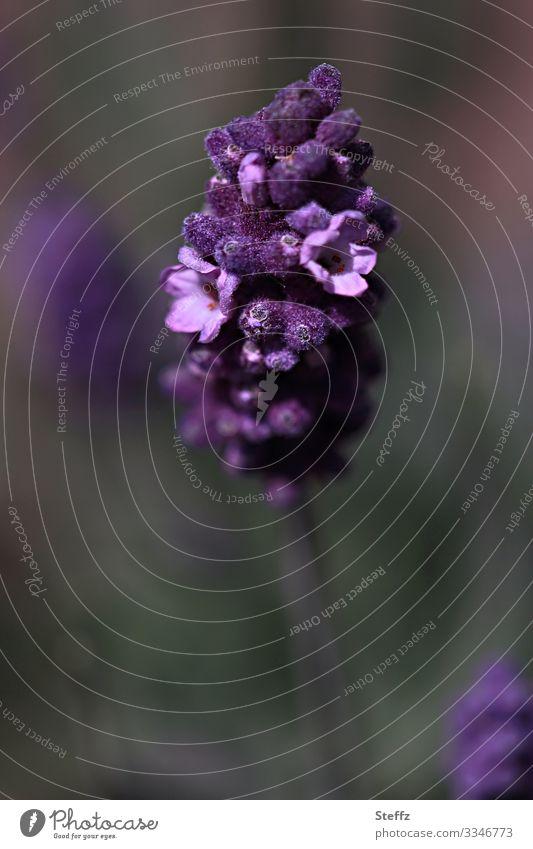 blühender Lavendel Lavendelblüte Lavendelduft Duft Lavendelblume blühende Sommerblume violette Blume lila Blume lila Blüte violette Blüte sommerlich dunkelgrün