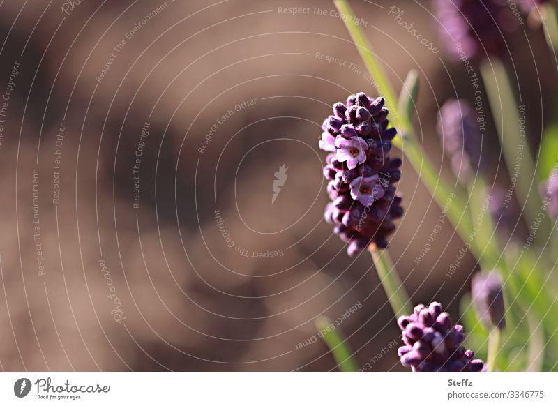 der Duft des Lavendels Umwelt Natur Sommer Pflanze Blume Blüte Nutzpflanze Gartenpflanzen Heilpflanzen Sommerblumen Deutschland Blühend natürlich schön braun