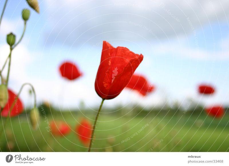 Mohnblumen im Wind Blume Mohen Blühten Blütenknospen Himmel