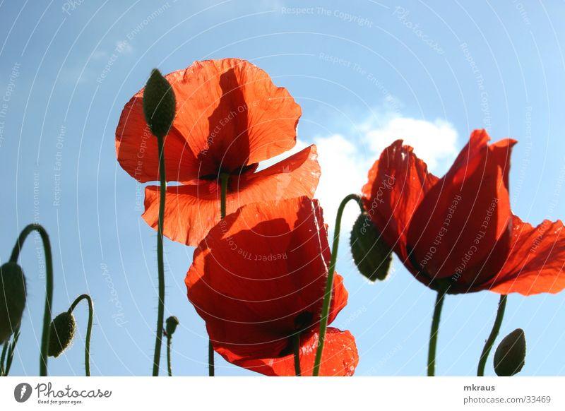Roter Mohn Blume Mohen Blühten Blütenknospen Himmel