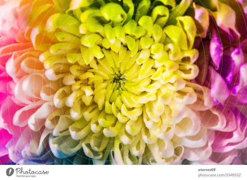 Mehrfarbige Blume aromatisch Hintergrund neutral schön blau Chrysantheme Farbe mehrfarbig Textfreiraum Gänseblümchen Dekor Pflanze geblümt vereinzelt Muttertag
