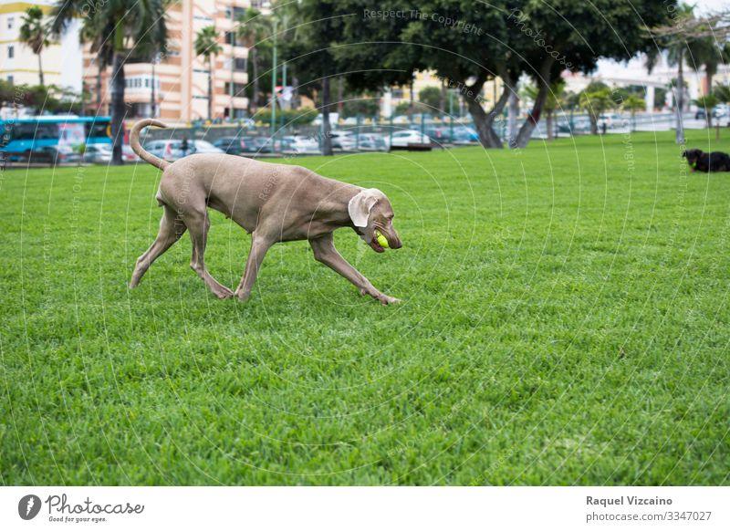 Weimaraner-Hundelauf Spielen Sommer Natur Tier Gras Park Haustier 1 rennen grau grün Ball Feld laufen Reinrassig züchten Freizeit Bauernhof Säugetier Fohlen