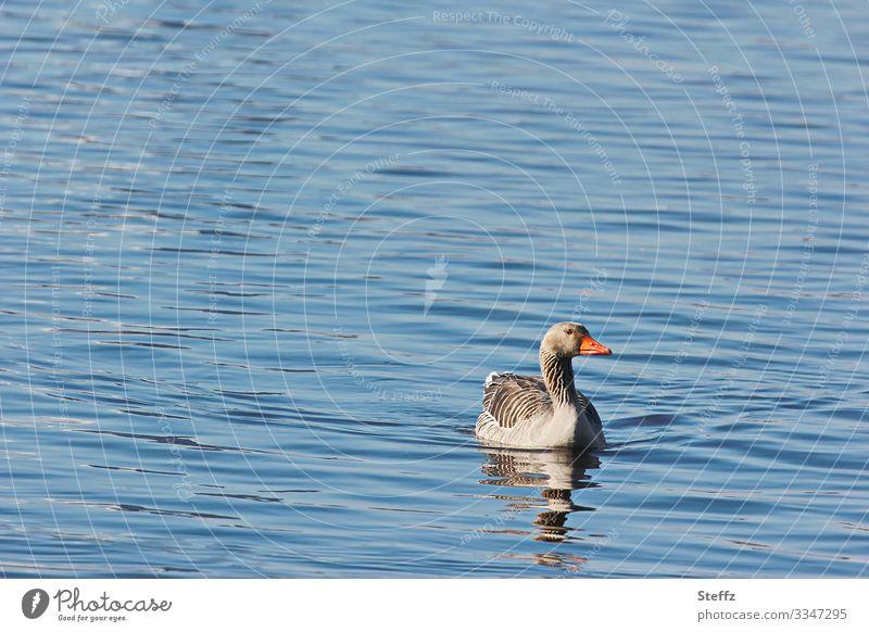 ruhiges Wasser Teich Gans Graugans Wildvogel Vogel Umwelt Natur Sommer Schönes Wetter See Tier frei natürlich schön blau grau achtsam Gelassenheit Idylle