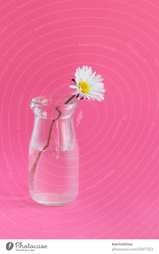 Frühlingskomposition mit Gänseblümchen in einem Glasgefäß Design Dekoration & Verzierung Hochzeit Frau Erwachsene Mutter Blume rosa weiß Kreativität Wasser