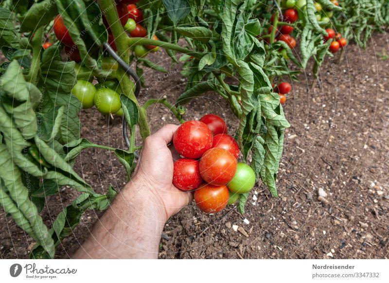 Tomatenernte Lebensmittel Gemüse Frucht Ernährung Bioprodukte Vegetarische Ernährung Fasten Italienische Küche Garten Arbeit & Erwerbstätigkeit Landwirtschaft