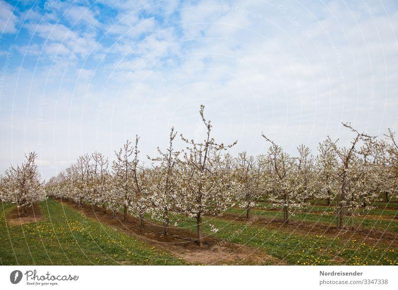 Kirschblüte Leben Ausflug Landwirtschaft Forstwirtschaft Natur Landschaft Pflanze Himmel Wolken Frühling Schönes Wetter Baum Gras Nutzpflanze Wiese Feld Blühend