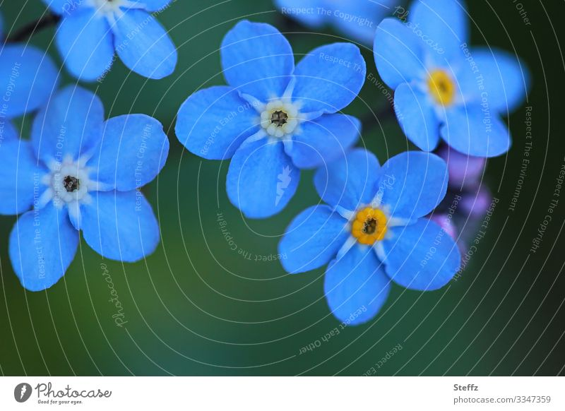 mehrere blau blühende Vergissmeinnicht-Blümchen Frühlingsblumen Blume Blüte dunkelblau Natur Umwelt Nahaufnahme natürlich Blumen Zierpflanze schön