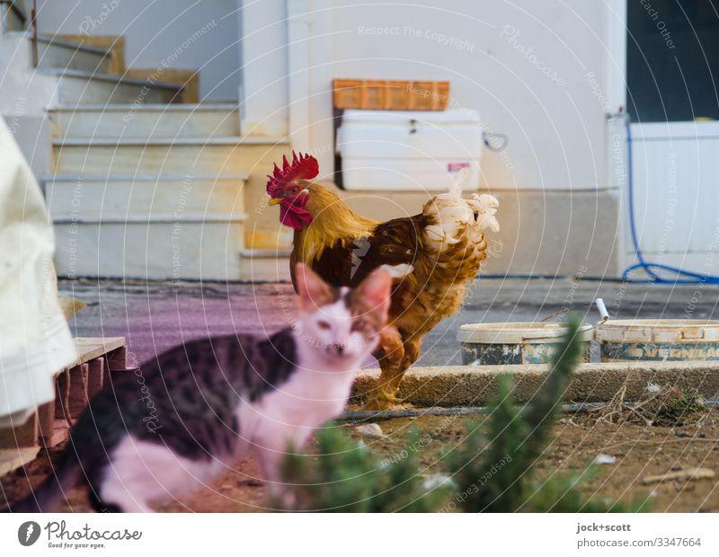 Katze und Hahn bewegen sich frei in Griechenland Sträucher Treppe Straße 2 Tier Kasten Schlauch Farbeimer Zusammensein Wachsamkeit Gelassenheit erleben Idylle