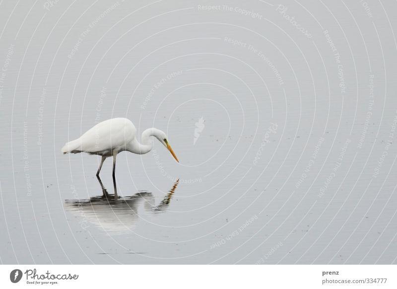 suchend Umwelt Natur Tier Wildtier Vogel 1 grau weiß Silberreiher See stehen Reflexion & Spiegelung Farbfoto Außenaufnahme Tag Zentralperspektive Tierporträt
