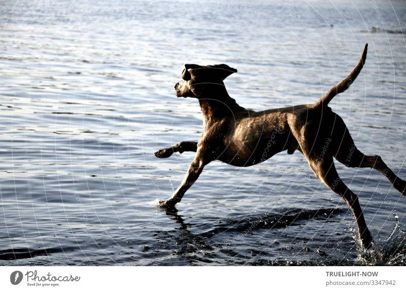Jumpin' Jack Flash! Lifestyle elegant Wellness Leben Schwimmen & Baden Freizeit & Hobby Jagd Haustier Nutztier Hund Weimaraner 1 Tier rennen Spielen springen