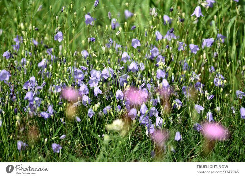 Leuchtende Heilkraft einer Blumenwiese mit frischen Gräsern und Blüten in grün, hellblau, weiß, gelb und violett Frühling Sommer Wiese Gras Sonnenschein bunt