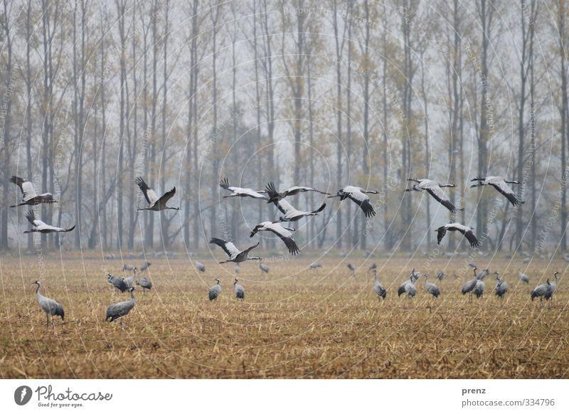 Kranichzeit Umwelt Natur Landschaft Tier Herbst Wetter schlechtes Wetter Feld Wildtier Vogel Tiergruppe blau grau fliegen fliegend Farbfoto Außenaufnahme