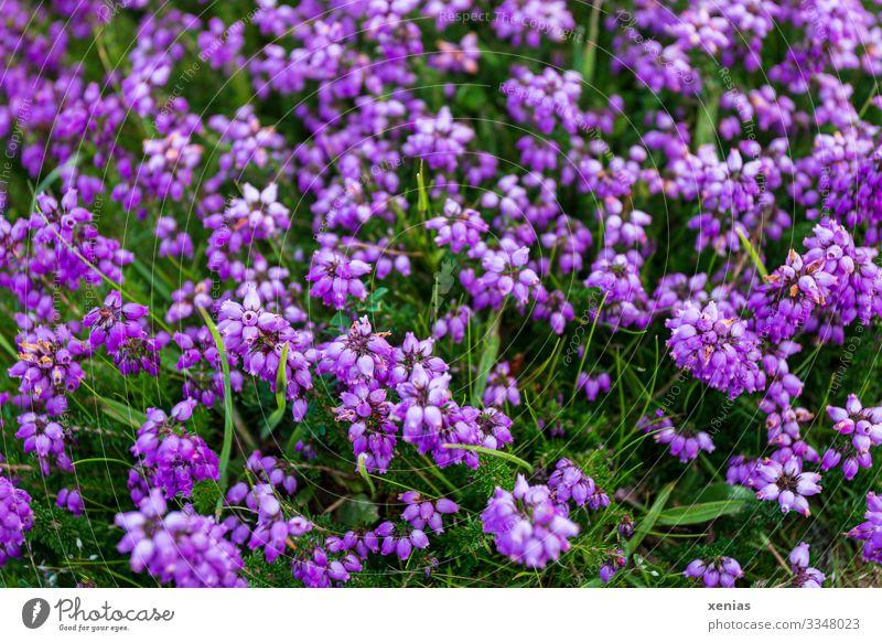 Violette Glockenheide mit grünem Gras Heidekrautgewächse violett Natur Landschaft Pflanze Blume Blüte Wildpflanze Bergheide klein rund viele Umwelt xenias