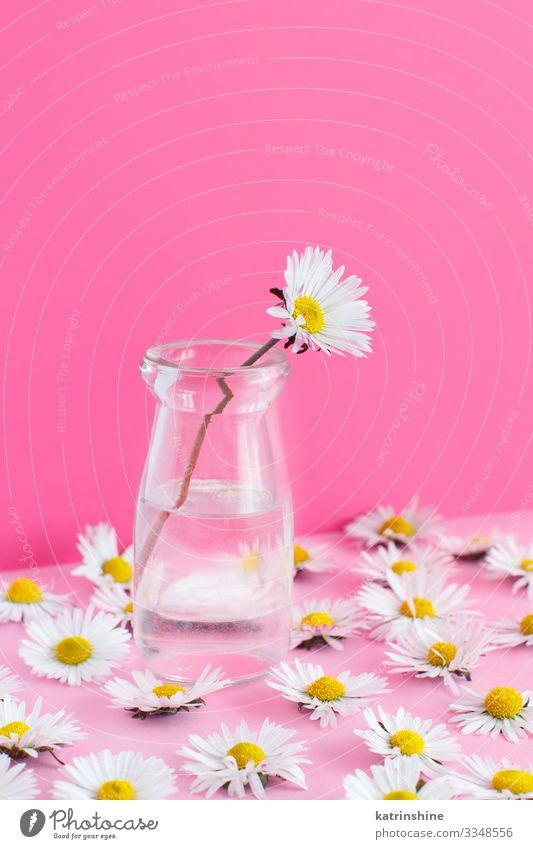 Frühlingskomposition mit Gänseblümchen auf einem hellrosa Hintergrund Design Dekoration & Verzierung Hochzeit Frau Erwachsene Mutter Blume weiß Kreativität Glas