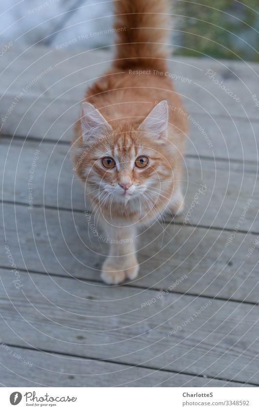 Tin Can Ausflug Garten Kopf Auge Balkon Terrasse Tier Haustier Katze Tierjunges rot Neugier Perspektive Pfote Glück Rost Streifen Schwanz kommen Zehen