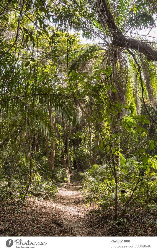 Dichter Regenwald mit einem kleinen Pfad Meditation Ferien & Urlaub & Reisen Umwelt Natur Landschaft Pflanze Klima Baum Blatt Wald Urwald Bach Wachstum dick