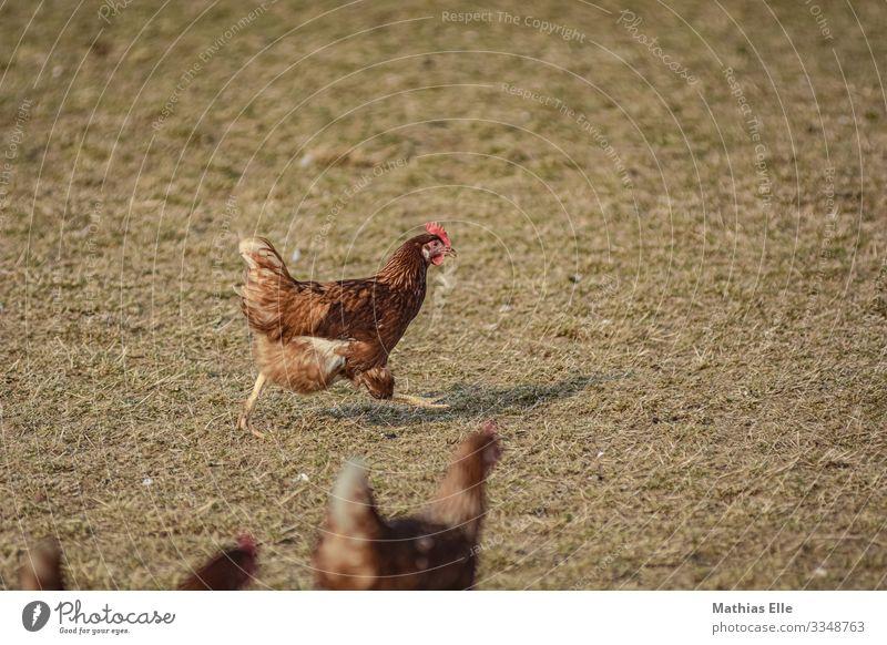 Huhn in Hühnerfarm Tier gelb Wiese braun gold Tiergruppe Flügel Bauernhof Metallfeder rennen ökologisch Haushuhn Krallen artgerecht Freilandhaltung Geflügelfarm