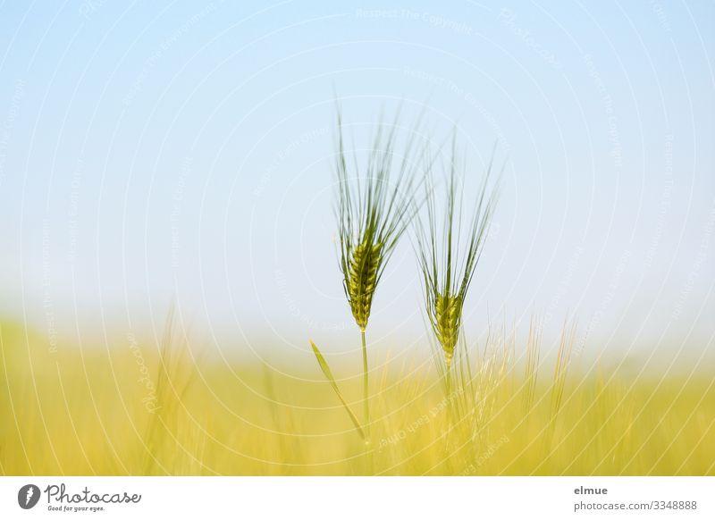 Pas de deux Umwelt Wolkenloser Himmel Sonne Sommer Schönes Wetter Nutzpflanze Gerste Gerstenähre Granne Kornfeld Getreide Ähren Feld hell blau gelb Einigkeit
