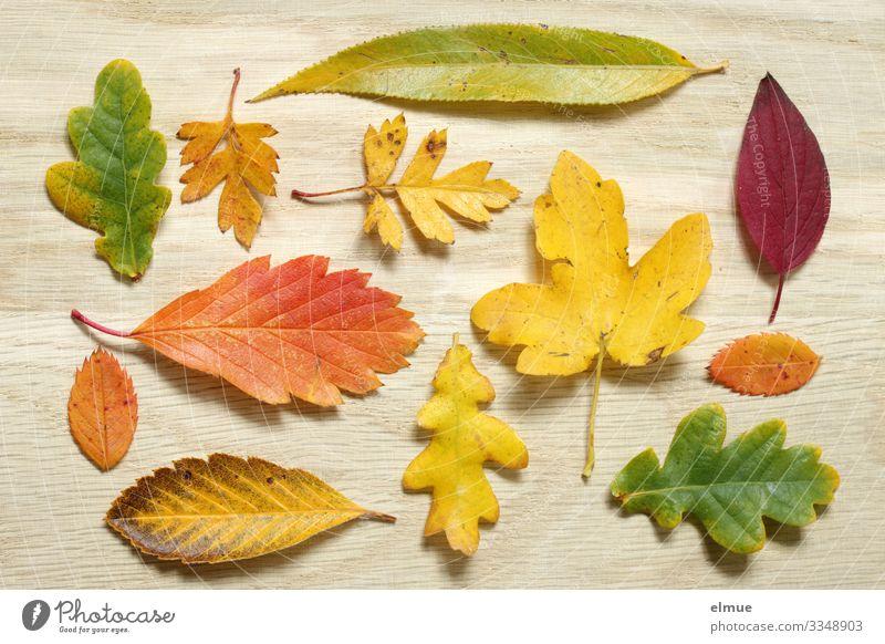 gesammelter Herbst Freizeit & Hobby wandern Holzbrett Blatt Ahornblatt Eichenblatt Rotdornblatt Buchenblatt Eschenblatt Blattsammlung Super Stillleben
