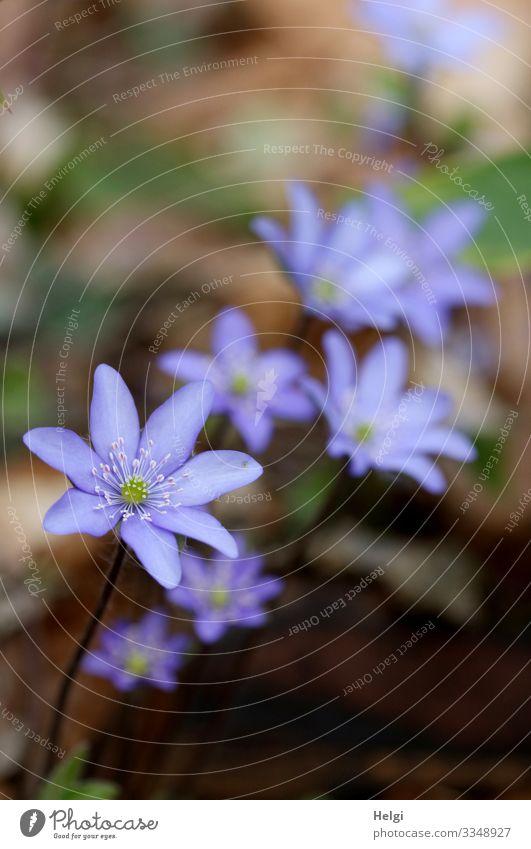 Nahaufnahme von lila Leberblümchen im Wald Umwelt Natur Pflanze Frühling Schönes Wetter Blume Blüte Waldboden Blühend Wachstum ästhetisch außergewöhnlich schön