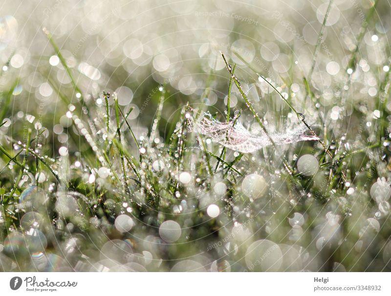 Morgentau im Gras mit Spinnennetz, vielen Glitzertropfen und Bokeh im Gegenlicht Wiese Tropfen Tau Tautropfen morgens Pflanze Grashalm Halm Umwelt Natur