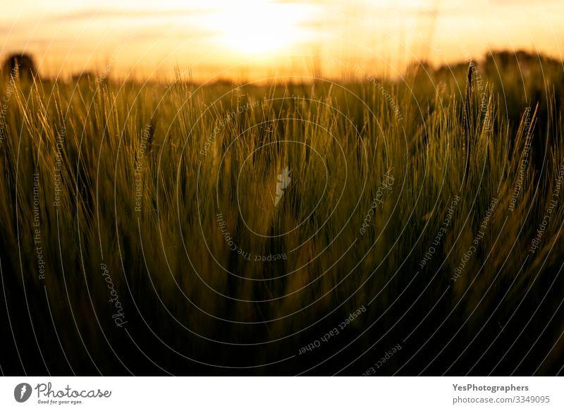 Nahaufnahme von Grainfields zur goldenen Stunde. Weizen im Licht Sommer Natur Landschaft Pflanze Nutzpflanze Wachstum natürlich landwirtschaftliche Flächen