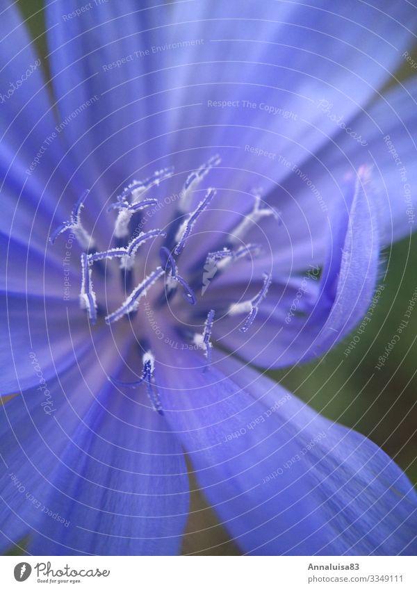 Blaue Blume Natur Pflanze Schönes Wetter Gras Sträucher Blüte Wildpflanze Garten blau Zichorie Farbfoto Außenaufnahme