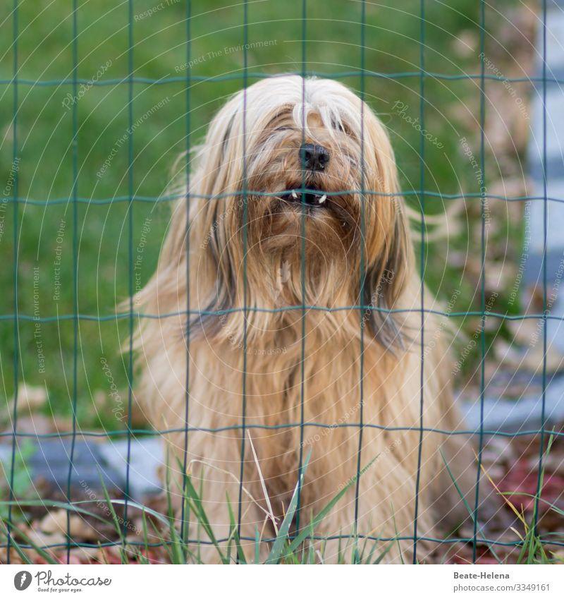 Hundeleben: Gefangenschaft Verlierer Natur Wiese blond langhaarig Tier Tiergesicht atmen beobachten Denken Blick träumen Traurigkeit warten dunkel Wut Schutz