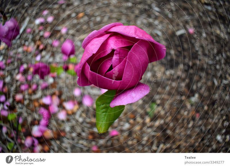 Rosa Blume Natur Pflanze Frühling Schönes Wetter Baum Blüte ästhetisch frisch schön positiv braun rosa Freude Fröhlichkeit Zufriedenheit Frühlingsgefühle